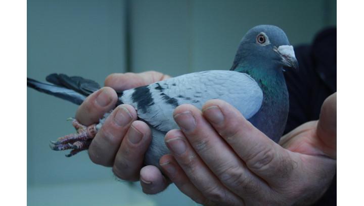 Jakie preparaty podać gołębiom po chorobie?